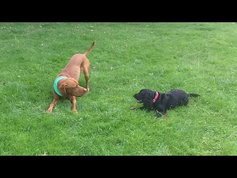 Archie Hungarian Vizsla loving Cocker DARLING Daisy.