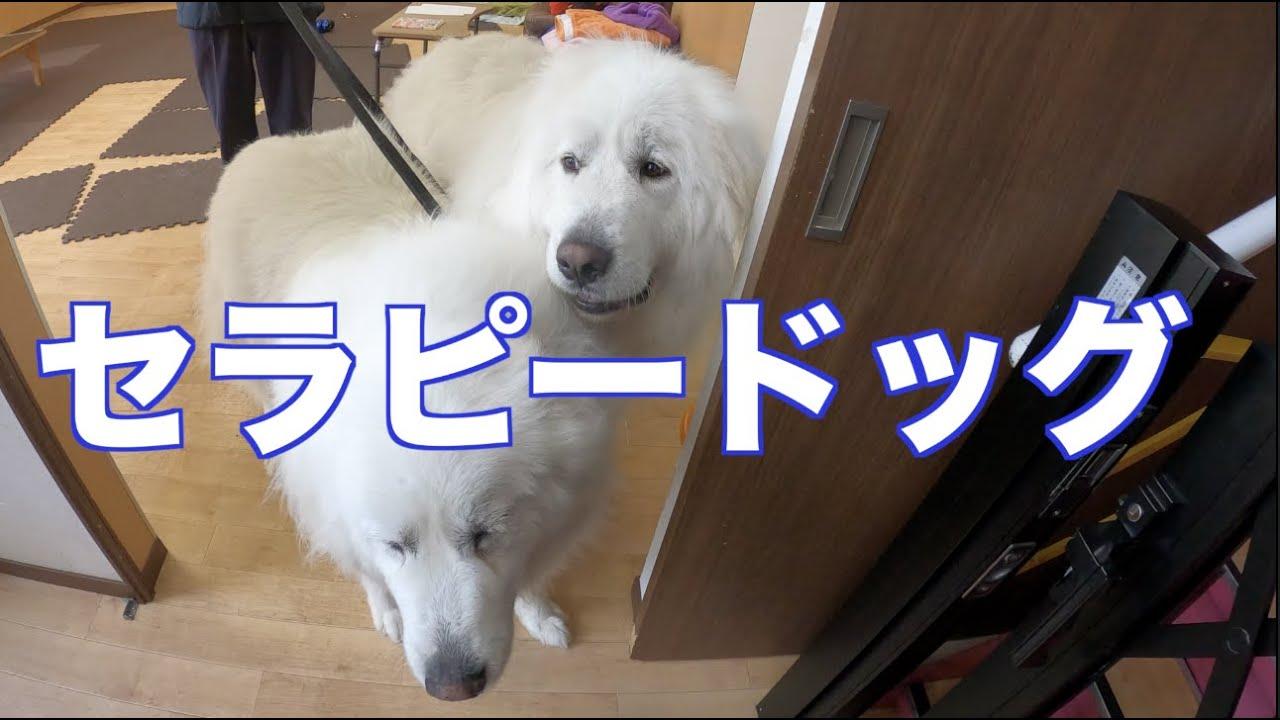 セラピードッグの様子 グレートピレニーズ MIX犬