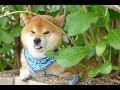 Cute  Shiba Inu Puppies Compilation