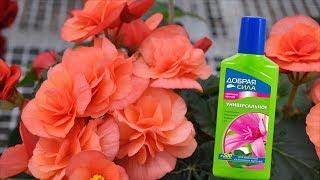 чем подкормить Бегонию для обильного цветения? Правила подкормки Бегоний!