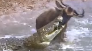 20 crocodile attacks in a row crocodile vs zebra crocodile vs wildebeest crocodile vs lion