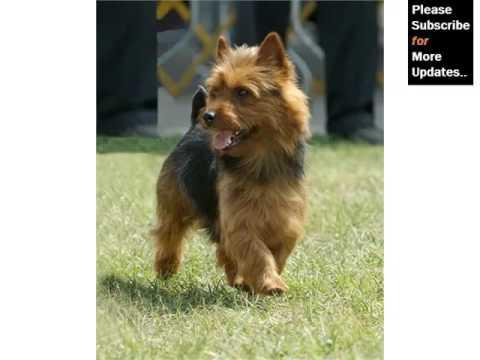 Terrier Dog Breed Types Picture Ideas | Australian Terrier