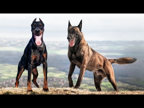 These Are 9 Hungarian Dog Breeds