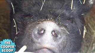 (Tragic Birth) Our Mini Pig Had Her Babies