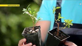 видео Маракуйя - фото фрукта, как выглядит и как растет растение