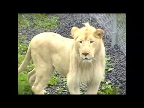 OLC - PARC Safari - White Lions  6-18-08