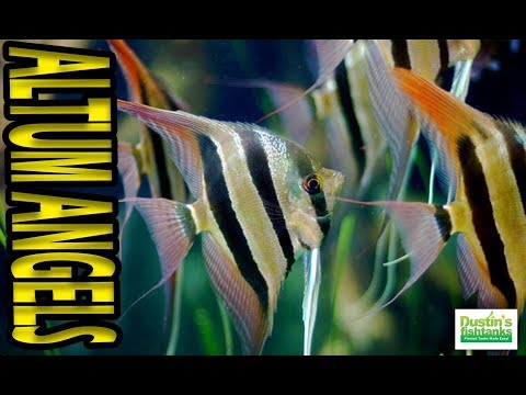 HOW TO KEEP ALTUM ANGELS: Species Sunday