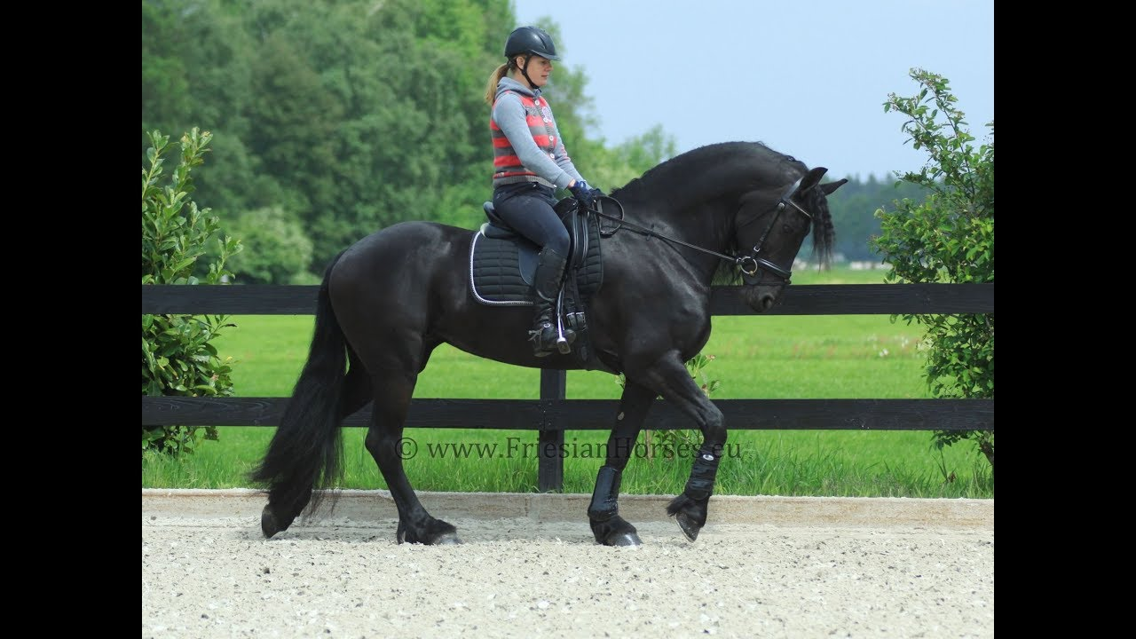 Friesian horse for sale - STAR mare for riding and driving