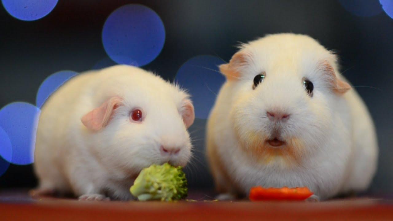 Guinea Pig Looks Stunned Youtube