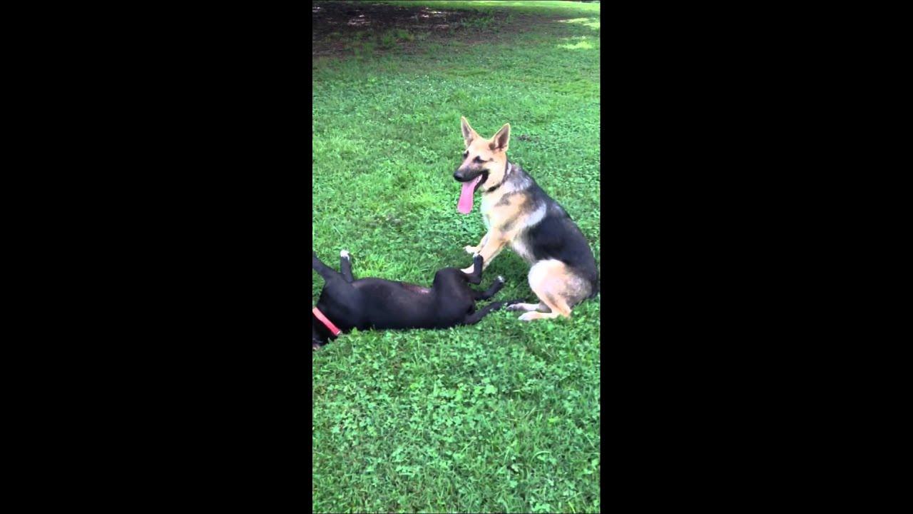 German Shepherd vs. Pit Bull - YouTube