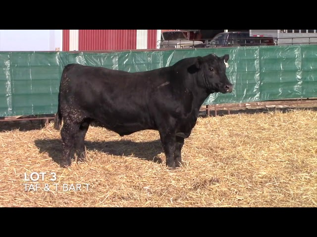 T Bar T and Taliaferro Angus Lot 3