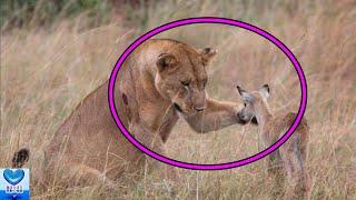 種族を超えた愛情。孤独なメスライオンの母性愛【感動】 ライオンはネコ...
