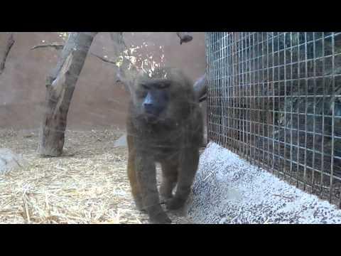Special Documentary of Baboon with hemorrhoids / Tudományos film az aranyeres páviánról