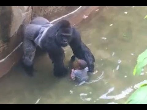 Tragic Gorilla Death at the Cincinnati Zoo- Who's at fault and should the gorilla have been shot?