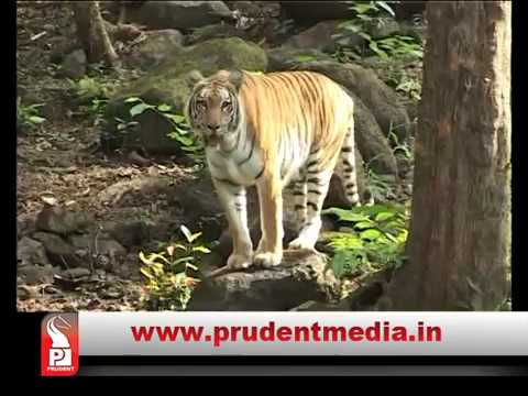 'TIGERS ESTIMATED' IN SURVEY OF TIGERS IN MHADEI WILD LIFE SANCTUARY _Prudent Media Goa