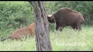 Tiger Hunts Large Gaur  New Footage