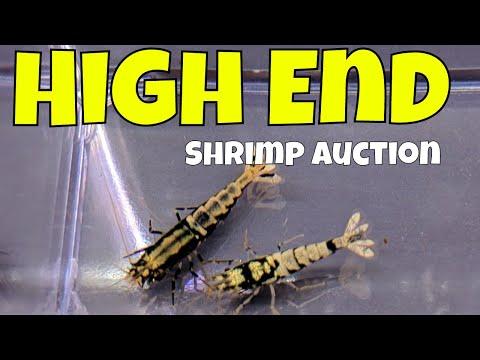 High End Shrimp Auction - Fish Room Update