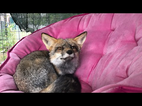 1on1 time with new rescue fox Sophie...