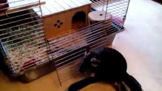 видео Уход за шиншиллой в домашних условиях