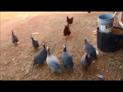 How to get Guinea fowl to their coop at night, and MORE