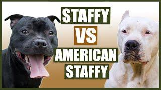 STAFFORDSHIRE BULL TERRIER vs AMERICAN STAFFORDSHIRE BULL TERRIER