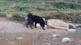 भोटे कुकुर (tibetan mastiff) from Nepal full black giant 'Dhading dog house'