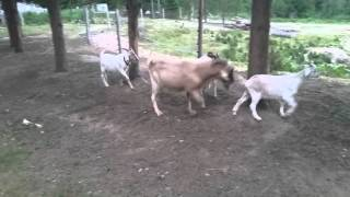 2015 Kiko Goat Breeding Season