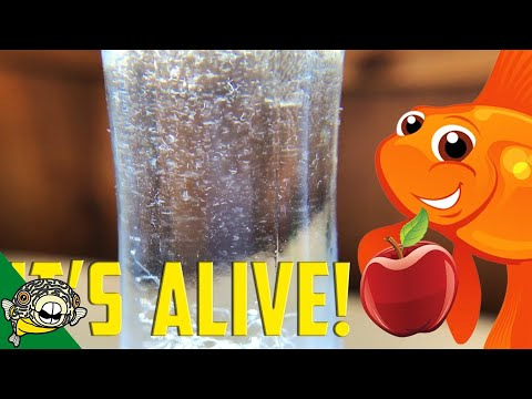How To Culture Vinegar Eels! The EASY Way!  Live Fish Food.
