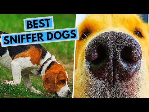 TOP 10 Dog Breeds With the Best Sense of Smell