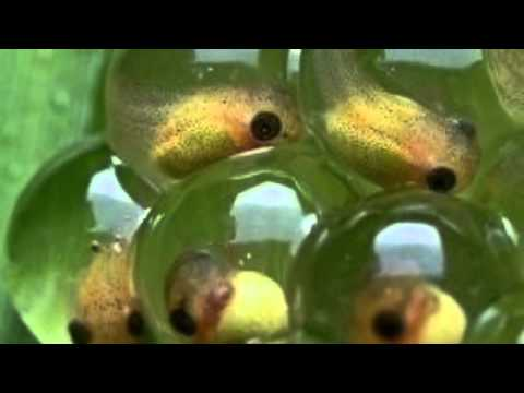 Life cycle of a Frog! - YouTube - photo#26