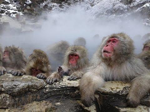 Monos De La Nieve Macaco Japones Youtube