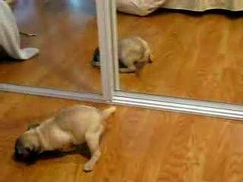funny puppy pug identity crisis (puppies vs babies animal planet contestant)