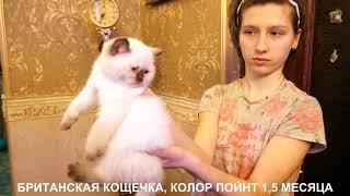 Британские котята. www.r-risk.ru  +7 9262205603 Татьяна Ягодкина