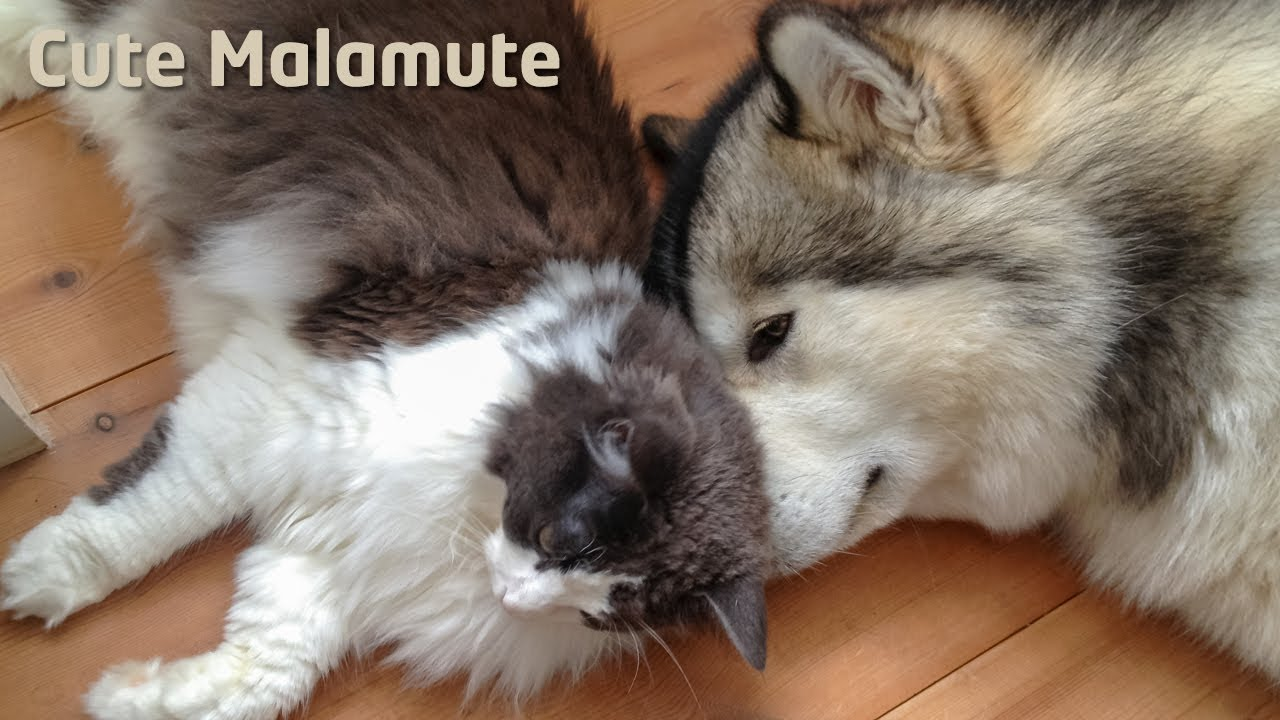 Alaskan Malamute in toy battle with a cat