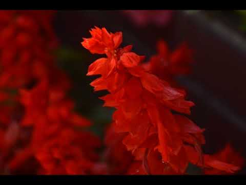 もとまろ サルビアの花
