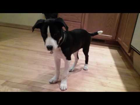 Jayda Border Collie American Pitbull Terrier Mix Puppy Playing