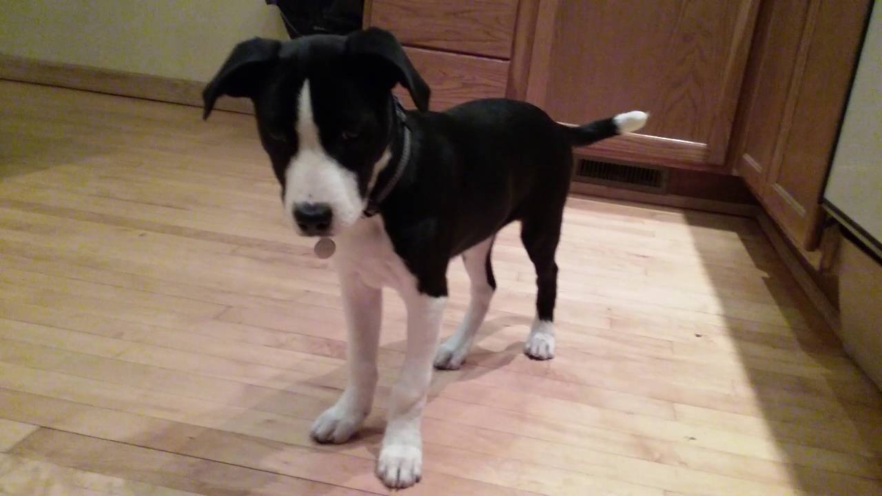 Jayda Border Collie American Pitbull Terrier Mix Puppy Playing Youtube