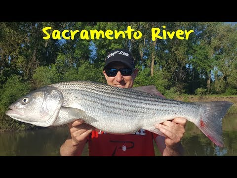 Sacramento River Striper Fishing