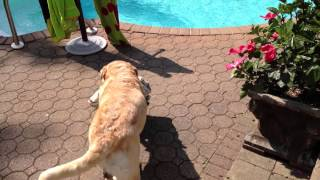 Labrador Retriever Gets Pool Towel From Closet, Brings Towel To Pool  And Jumps In