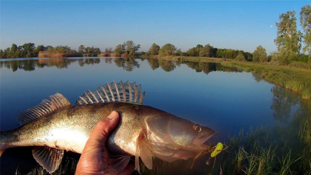 Рыба бирюк картинка