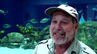 Meet Mighty Mike, the New 800-Pound Alligator at OdySea Aquarium