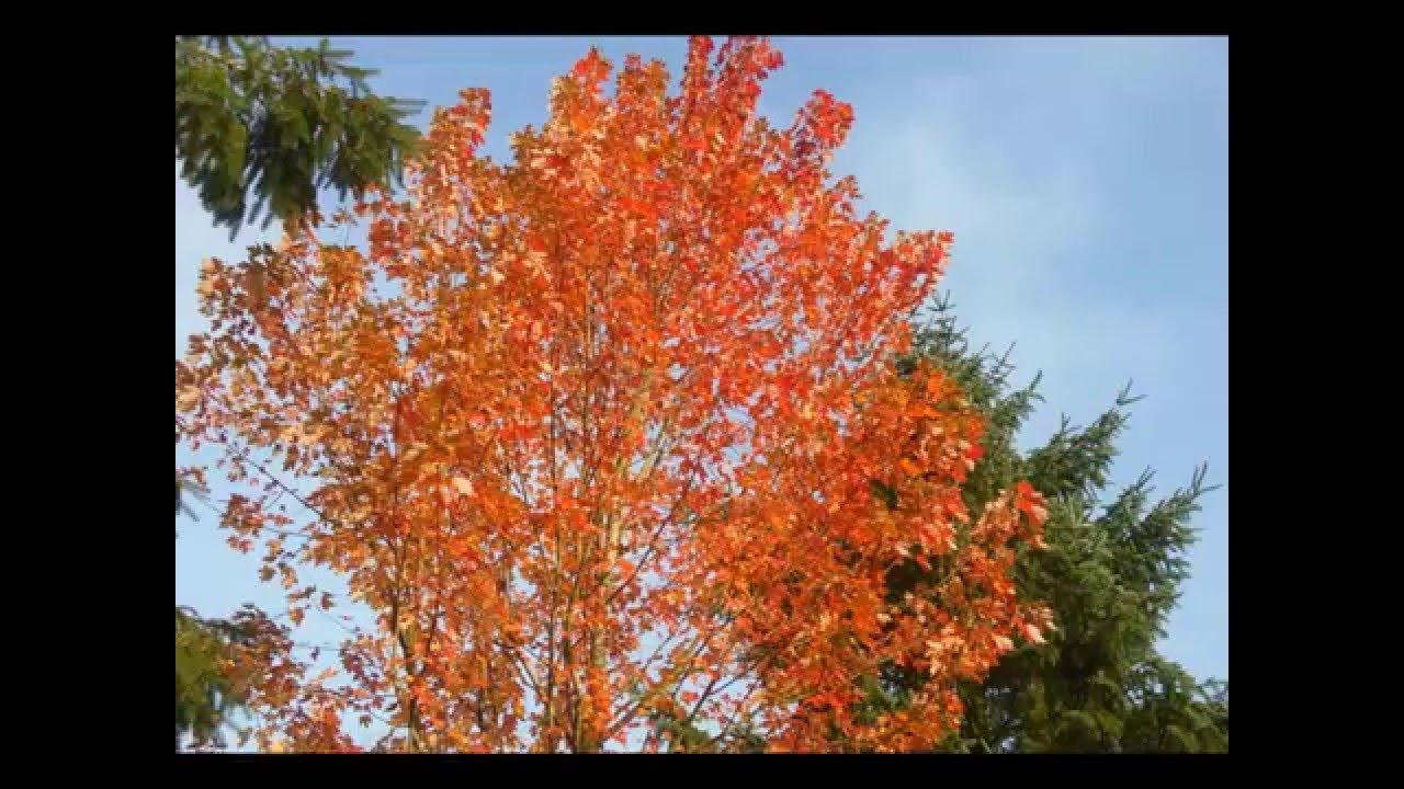 Acer X Freemanii Autumn Blaze Youtube