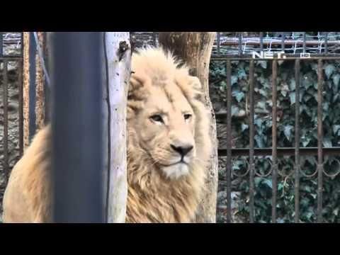 NET24 - Kelahiran singa putih di kebun binatang Georgia