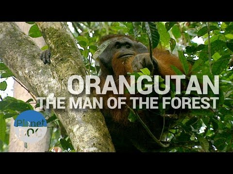 Orangutan, The Man of the Forest | Nature - Planet Doc Full Documentaries