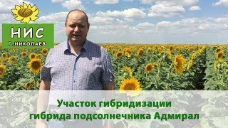 Семена подсолнечника под гранстар - гибрид Адмирал от Научного института селекции (г.Николаев)