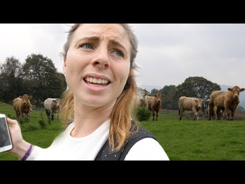 Chased by cows in Snowdonia!