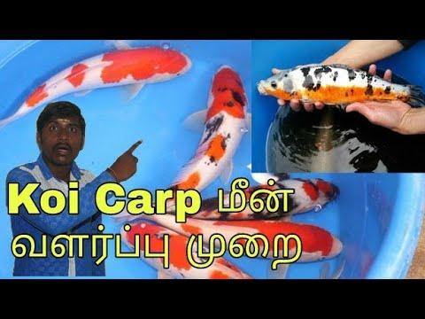 Koi Carp Fish Buying Tips Info