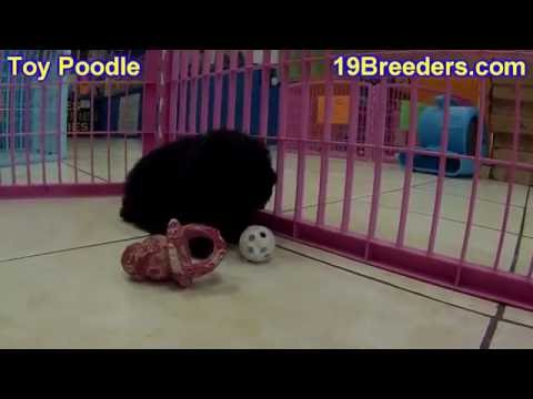 Toy Poodle, Puppies, Dogs, For Sale, In Chicago, Illinois, IL, 19Breeders, Rockford, Naperville