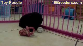 Toy Poodle, Puppies, For, Sale, In, Chicago, Illinois, Il, Carol Stream, Streamwood, Plainfield, Cry