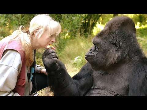Koko, the gorilla that mastered sign language, died at 46